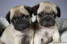 pug puppy wallpaper.  Puppy Pug Puppies Desktop Wallpaper On Puppy L