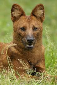 Small Picture Dhole Animals of India 18 Dhole Indian Wild Dog Walk the