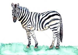 watercolor hand painted zebra