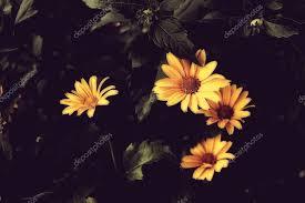 beautiful yellow flowers with dark