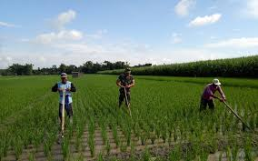 Image result for panas sawah