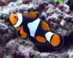 black and orange clown fish.  Clown Black And Orange Clown Fish  Photo1 For And Orange Clown Fish _