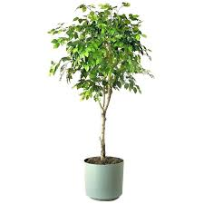 best large indoor plants tall houseplants for home and intended furniture house dark rooms ta