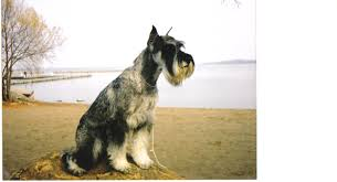 Giant Schnauzer Size Chart Miniature Schnauzer Infographic Via Schnauzers Always Up To