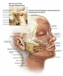 The Path Of The Facial Nerve Through The Temporal Bone And