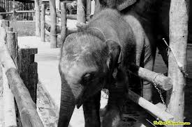 photo essay an elephant camp in black and white a baby elephant at an elephant camp near chiang mai thailand