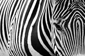 """Résultat de recherche d'images pour """"images zebres en couleur libres de droit"""""""