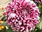 Images & Illustrations of chrysanthemum