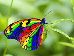 real beautiful colorful butterflies. Modren Real Continuing To Check On The Name Of This Butterfly IMHO Is A  Photoshop Jobthese Kinds Things Should Be Notated And Real Beautiful Colorful Butterflies L
