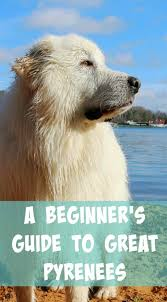Great Pyrenees Info A Beginners Guide Its Dog Or Nothing