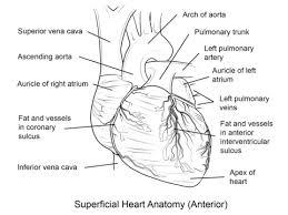 Small Picture Corazn Humano Dibujo para colorear ART Pinterest Human heart
