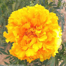 plantfiles pictures marigold african marigold aztec marigold  private garden in phoenix az zone 9b