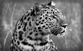 Explore collection 'cheetah wallpapers hd' and download any of this beautiful desktop background pictures.all wallpapers can be customized and optimized in order to best fit to your device's screen. White Cheetah Wallpapers Wallpaper Cave