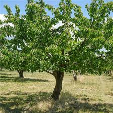 Bing Cherry Tree On The Tree Guide At Arborday Org