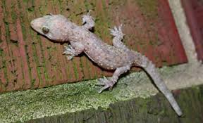 Species Profile Mediterranean Gecko Hemidactylus Turcicus Srel