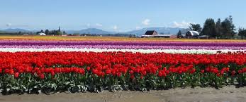 skagit valley tulips daffodils tour