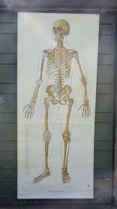 Human Skeleton Wall Chart Vintage Roll Pull Down Medical School Wall Chart Human Skeleton Full Body Front