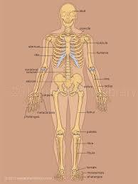Skeleton Anterior View Medical Art Library