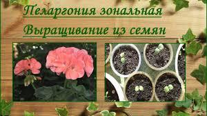 <b>Пеларгония</b> зональная. Выращивание из семян. - YouTube