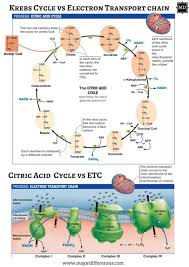 Difference Between Krebs Cycle And Electron Transport Chain