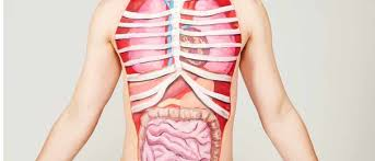 Organs In The Human Body Top 10 What Are The Heaviest Organs In The Human Body