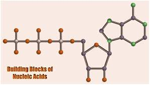 Building Blocks Of Nucleic Acids Structures Functions