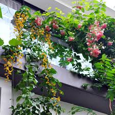 Best 25 Jasmine Plant Ideas On Pinterest  Jasmine Plant Indoor Wall Climbing Plants India