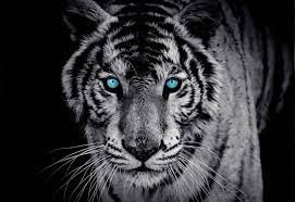 Fototapeta Zvíře Tygr