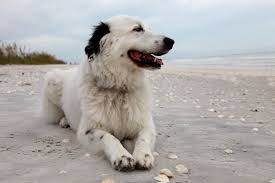 border collie great pyrenees mix