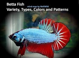 Betta Fish Chart Betta Fish Variety Types Colors And Patterns Full Chart