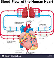 Human Blood Flow Chart Diagram Showing Blood Flow Of Human Heart Illustration Stock