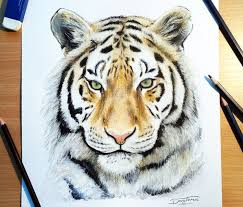 color tiger drawing.  Tiger Color Tiger Drawing By Dino Tomic Intended Drawing O