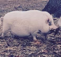 Free bbw being treated pig