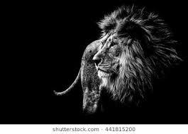 lion roaring black and white. Brilliant Roaring Lion In Black And White For Lion Roaring Black And White I