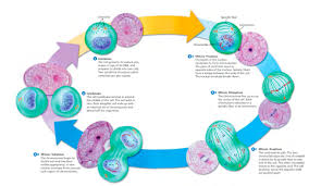 Amnasthwer key gceilzl mdivoision gizmo. Cell Division Mitosis And Meiosis Flashcards Quizlet