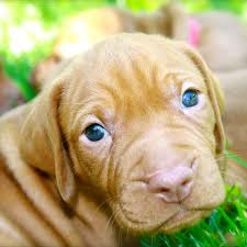 vizsla puppies make your day better in