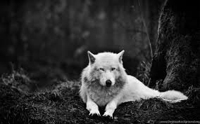 black wolf howling wallpaper. Perfect Wolf Widescreen Throughout Black Wolf Howling Wallpaper