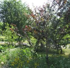 Best Fruit Trees For Missouri  Nixa Lawn ServicePlum Tree Flowers But No Fruit
