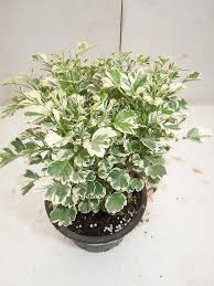Indoor Plants-By Sanjay Nursery Pla