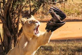 lioness hunting. Simple Lioness Lioness Hunts Hadeda Pics To Hunting I