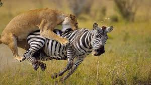lioness hunting zebra. Delighful Zebra Amazing Lion Hunting And Eat Zebra In South America  Violent Predators To Lioness D