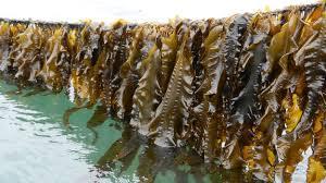 l'algue l'avenir de l'alimentation  bien dans son assiette  ici