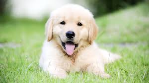cute golden retriever puppies for sale. Exellent For Intended Cute Golden Retriever Puppies For Sale