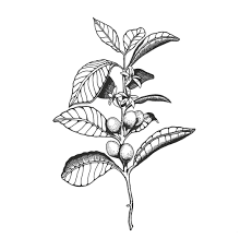 coffee bean plant illustration. Wonderful Coffee Coffee Plant Illustration  Google Search Throughout Coffee Bean Plant Illustration F