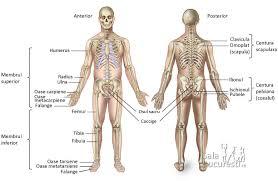 Sistemul osos Anatomie si fiziologie
