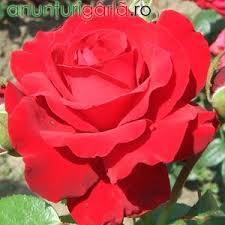 Imagini pentru trandafiri de gradina