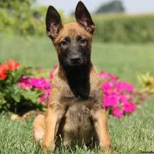 belgian malinois bernedoodle puppy
