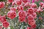 Гвоздика махровая цветы 135