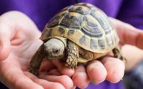 meet your perfect pet tortoise
