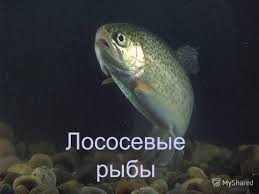 Презентация на тему Лососевые рыбы Империя Домен Эукариоты  1 Лососевые рыбы